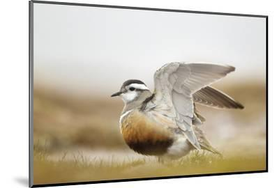 Adult Eurasian Dotterel (Charadrius Morinellus) with Wings Partially Raised, Cairngorms Np, UK-Mark Hamblin-Mounted Photographic Print