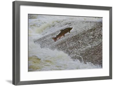 Atlantic Salmon (Salmo Salar) Leaping Up the Cauld at Philphaugh Centre Near Selkirk, Scotland, UK-Rob Jordan-Framed Photographic Print