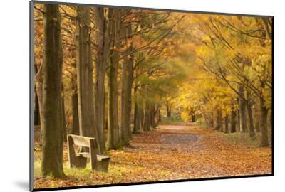 European Beech Trees in Autumn, Beacon Hill Country Park, the National Forest, Leicestershire, UK-Ross Hoddinott-Mounted Photographic Print