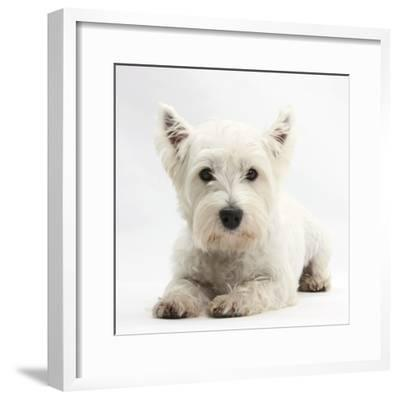 West Highland White Terrier Lying-Mark Taylor-Framed Photographic Print