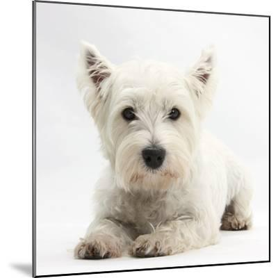 West Highland White Terrier Lying-Mark Taylor-Mounted Photographic Print
