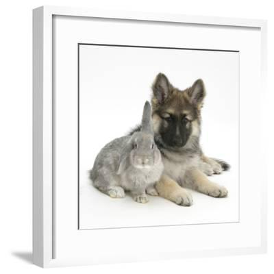 German Shepherd Dog (Alsatian) Bitch Puppy, Echo, with Grey Windmill-Eared Rabbit-Mark Taylor-Framed Photographic Print