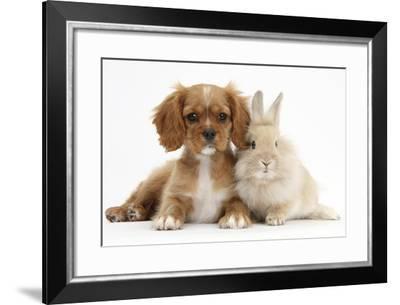 Cavalier King Charles Spaniel Puppy, Star, with Sandy Rabbit-Mark Taylor-Framed Photographic Print