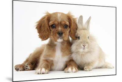 Cavalier King Charles Spaniel Puppy, Star, with Sandy Rabbit-Mark Taylor-Mounted Photographic Print