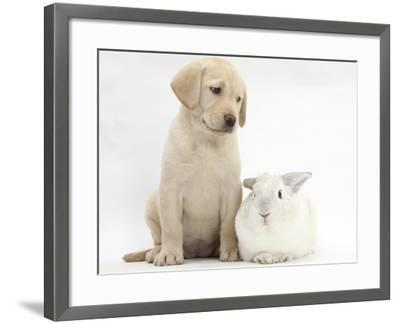 Yellow Labrador Retriever Puppy, 8 Weeks, with White Rabbit-Mark Taylor-Framed Photographic Print