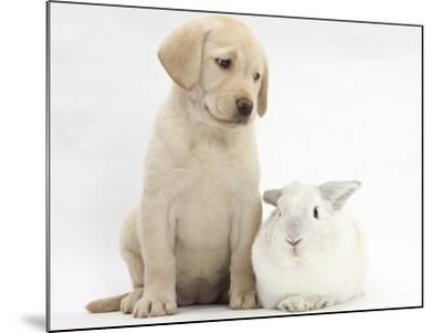 Yellow Labrador Retriever Puppy, 8 Weeks, with White Rabbit-Mark Taylor-Mounted Photographic Print