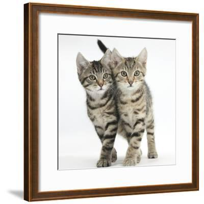 Tabby Kittens, Stanley and Fosset, 12 Weeks, Walking Together in Unison-Mark Taylor-Framed Photographic Print