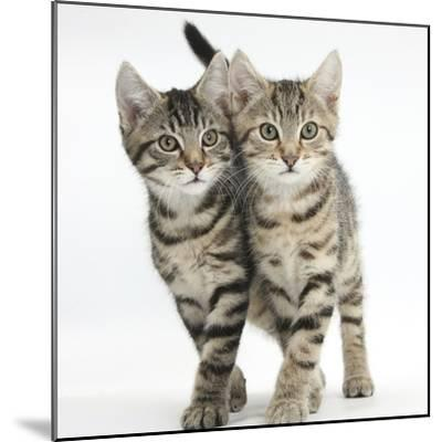 Tabby Kittens, Stanley and Fosset, 12 Weeks, Walking Together in Unison-Mark Taylor-Mounted Photographic Print
