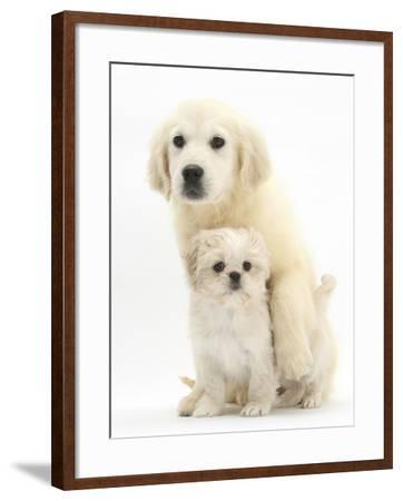 Golden Retriever Puppy, 16 Weeks, with Cream Shih-Tzu Puppy, 7 Weeks-Mark Taylor-Framed Photographic Print