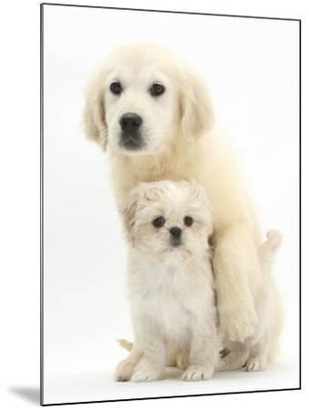 Golden Retriever Puppy, 16 Weeks, with Cream Shih-Tzu Puppy, 7 Weeks-Mark Taylor-Mounted Photographic Print