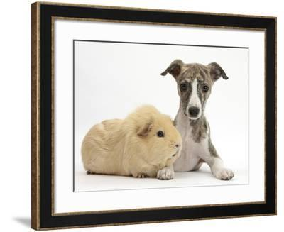 Brindle-And-White Whippet Puppy, 9 Weeks, with Yellow Guinea Pig-Mark Taylor-Framed Photographic Print