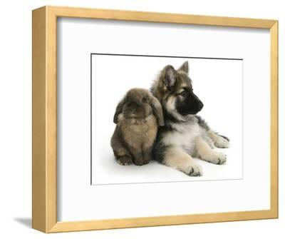 German Shepherd Dog Bitch Puppy, Echo, with Lionhead Rabbit-Mark Taylor-Framed Photographic Print