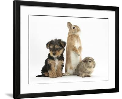 Yorkshire Terrier-Cross Puppy, 8 Weeks, with Guinea Pig and Sandy Netherland Dwarf-Cross Rabbit-Mark Taylor-Framed Photographic Print