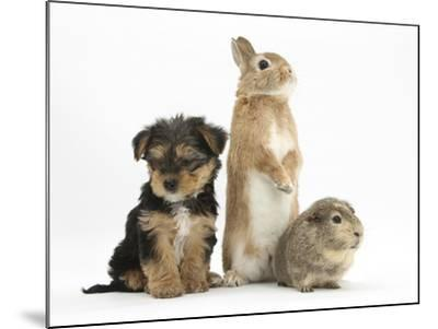 Yorkshire Terrier-Cross Puppy, 8 Weeks, with Guinea Pig and Sandy Netherland Dwarf-Cross Rabbit-Mark Taylor-Mounted Photographic Print