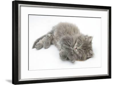Maine Coon Kitten, 8 Weeks, Lying on its Back, Looking Up in a Playful Manner-Mark Taylor-Framed Photographic Print