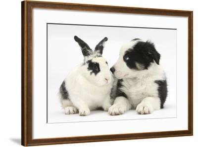 Tricolour Border Collie Puppy Basil, 8 Weeks, with Black and White Rabbit-Mark Taylor-Framed Photographic Print