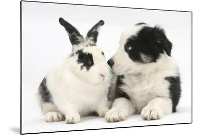 Tricolour Border Collie Puppy Basil, 8 Weeks, with Black and White Rabbit-Mark Taylor-Mounted Photographic Print