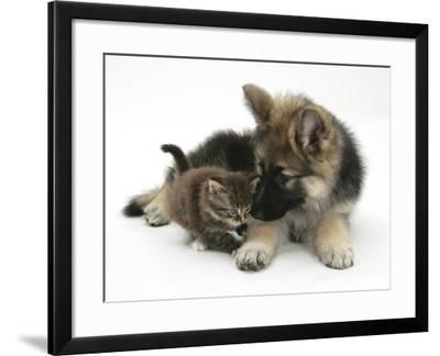 German Shepherd Dog Bitch Puppy, Echo, with a Tabby Kitten-Mark Taylor-Framed Photographic Print