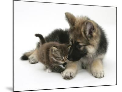 German Shepherd Dog Bitch Puppy, Echo, with a Tabby Kitten-Mark Taylor-Mounted Photographic Print