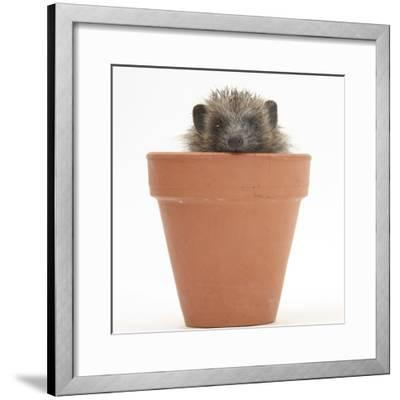 Baby Hedgehog (Erinaceus Europaeus) in a Flowerpot-Mark Taylor-Framed Photographic Print