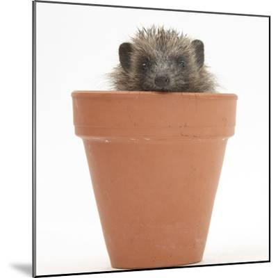 Baby Hedgehog (Erinaceus Europaeus) in a Flowerpot-Mark Taylor-Mounted Photographic Print