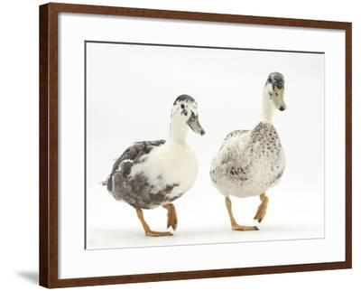 Two Call Ducks Walking-Mark Taylor-Framed Photographic Print