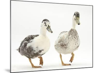 Two Call Ducks Walking-Mark Taylor-Mounted Photographic Print