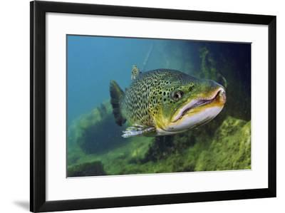 Brown Trout (Salmo Trutta) Jackdaw Quarry, Capernwray, Carnforth, Lancashire, UK, August-Linda Pitkin-Framed Photographic Print