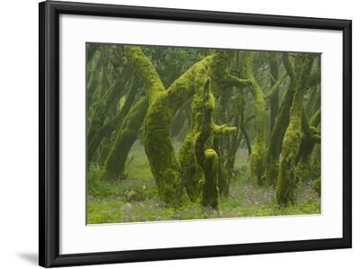 Laurisilva Forest, Laurus Azorica Among Other Trees, Garajonay Np, La Gomera, Canary Islands, Spain-Relanz?n-Framed Photographic Print