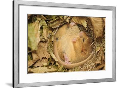 Hazel Dormouse (Muscardinus Avellanarius), Kent, UK-Terry Whittaker-Framed Photographic Print