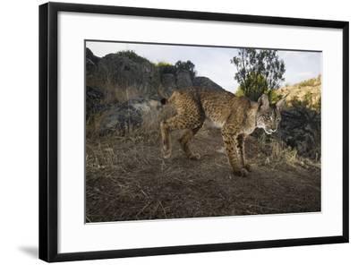 Wild Iberian Lynx (Lynx Pardinus) Male, Sierra De Andújar Np, Spain, Critically Endangered-Oxford-Framed Photographic Print