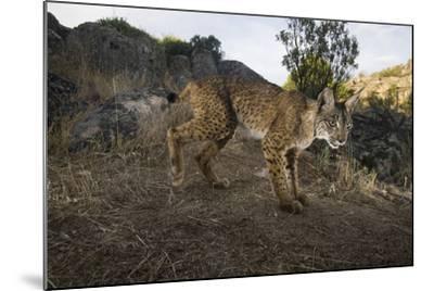 Wild Iberian Lynx (Lynx Pardinus) Male, Sierra De Andújar Np, Spain, Critically Endangered-Oxford-Mounted Photographic Print