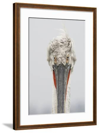 Dalmatian Pelican (Pelecanus Crispus) Portrait, Lake Kerkini, Macedonia, Greece, February 2009- Peltomäki-Framed Photographic Print