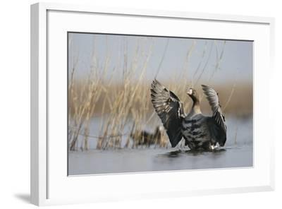 White Fronted Goose (Anser Albifrons) Flapping Wings, Durankulak Lake, Bulgaria, February 2009-Presti-Framed Photographic Print