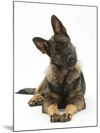 German Shepherd Dog Looking Inquisitively with Tilted Head-Mark Taylor-Mounted Photographic Print
