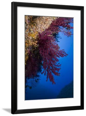 Gorgonian Coral on Rock Face Covered with Yellow Encrusting Anemones, Sponges and Corals, Corsica- Pitkin-Framed Photographic Print
