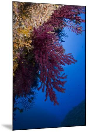 Gorgonian Coral on Rock Face Covered with Yellow Encrusting Anemones, Sponges and Corals, Corsica- Pitkin-Mounted Photographic Print