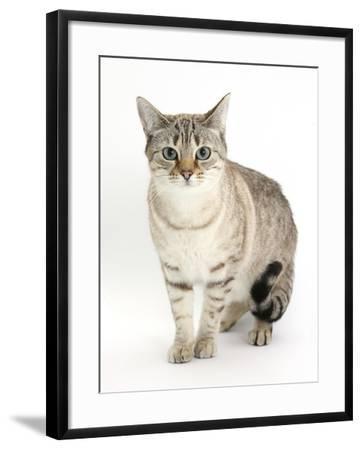 Sepia Snow Bengal-Cross Female Cat, Lilli-Mark Taylor-Framed Photographic Print