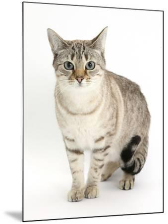 Sepia Snow Bengal-Cross Female Cat, Lilli-Mark Taylor-Mounted Photographic Print