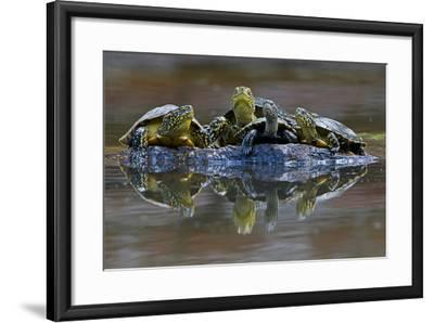Three European Pond Turtles (Emys Orbicularis) and a Balkan Terrapin on Rock, Butrint, Albania-Geidemark-Framed Photographic Print