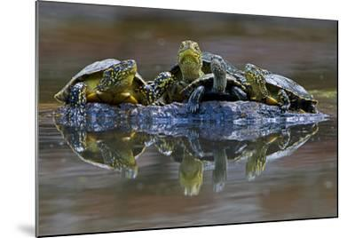 Three European Pond Turtles (Emys Orbicularis) and a Balkan Terrapin on Rock, Butrint, Albania-Geidemark-Mounted Photographic Print