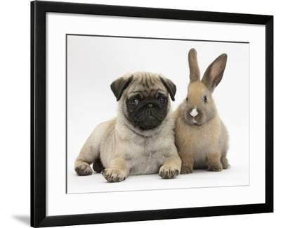 Fawn Pug Puppy, 8 Weeks, and Young Rabbit-Mark Taylor-Framed Photographic Print