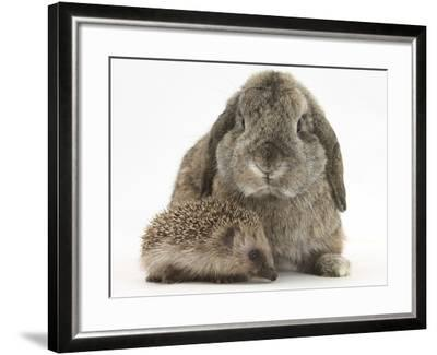 Baby Hedgehog and Agouti Lop Rabbit-Mark Taylor-Framed Photographic Print
