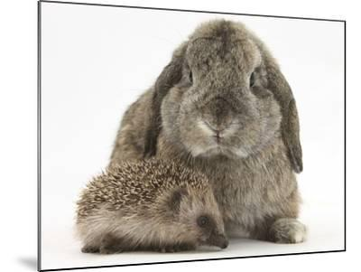 Baby Hedgehog and Agouti Lop Rabbit-Mark Taylor-Mounted Photographic Print