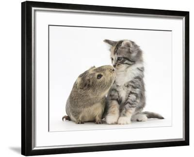 Guinea Pig and Maine Coon-Cross Kitten, 7 Weeks, Sniffing Each Other-Mark Taylor-Framed Photographic Print