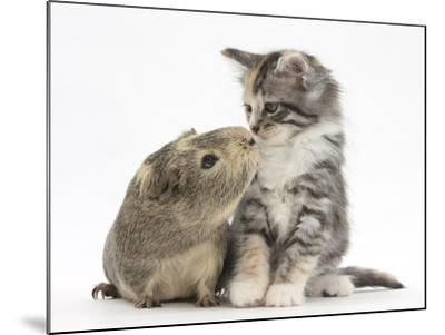Guinea Pig and Maine Coon-Cross Kitten, 7 Weeks, Sniffing Each Other-Mark Taylor-Mounted Photographic Print