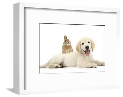 Netherland Cross Rabbit, Looking over the Back of Golden Retriever Dog Puppy, Oscar, 3 Months-Mark Taylor-Framed Photographic Print