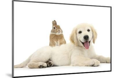 Netherland Cross Rabbit, Looking over the Back of Golden Retriever Dog Puppy, Oscar, 3 Months-Mark Taylor-Mounted Photographic Print