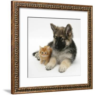 Ginger Kitten with German Shepherd Dog (Alsatian) Bitch Puppy, Echo-Mark Taylor-Framed Photographic Print