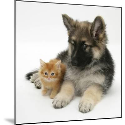 Ginger Kitten with German Shepherd Dog (Alsatian) Bitch Puppy, Echo-Mark Taylor-Mounted Photographic Print